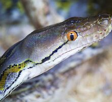 Reticulated Python by Paulette1021