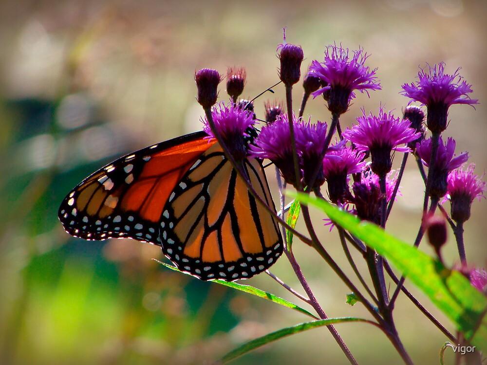 Monarch  by vigor