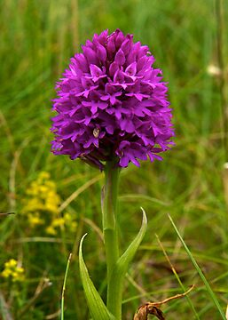 Pyramidal Orchid, Inishmore by George Row