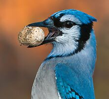 Blue Jay Profile by (Tallow) Dave  Van de Laar
