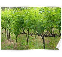 Vines @ Stoneyfell Poster
