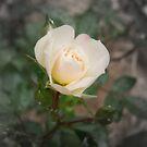 tiny rose by Ebony Jane