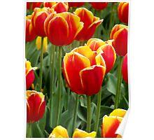 Bright Cheery Tulips Poster