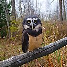 Gizmo, The Spectacled Owl 2 by Joseph T. Meirose IV