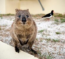 Quokka and friends by Colin White