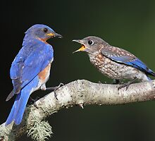 Eastern Bluebird with fledgling by Rob Lavoie