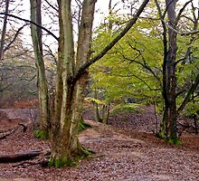 Autumn Woodland by John Thurgood