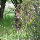 'WHO'S THAT!' hiding behind the bush! 'Arilka' Adelaide Hills. by Rita Blom