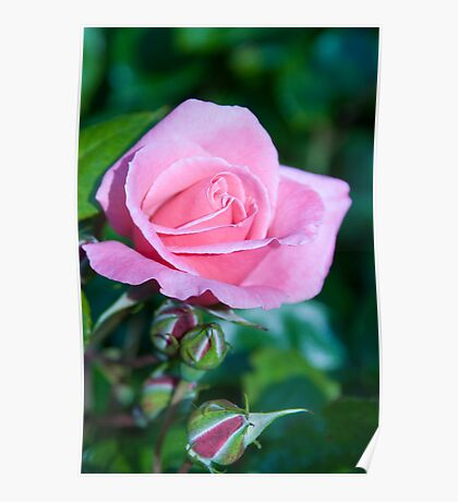 Pink Rose and Bud Poster