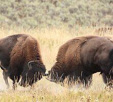 Bison Sparring by J. L. Gould