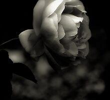 Rose Platinum Palladium Print by alan shapiro