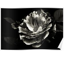 Another Rose Platinum Palladium Print. Poster