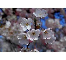 Cherry blossom flower Photographic Print