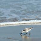 Sanderling by Bill Morgenstern