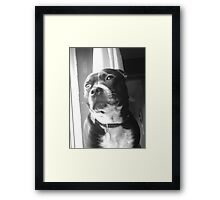 Staffy Bailey Framed Print