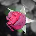 Raindrops on Roses by Dorothy Thomson