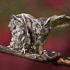 A Pair of Screech Owls - Milton Ontario by Raymond J Barlow