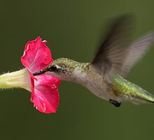 Ruby-throated Hummingbird by Rob Lavoie