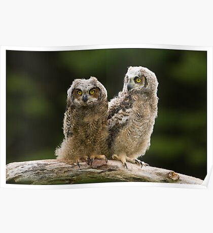 Great Horned Owlets - Simcoe Ontario, Canada Poster