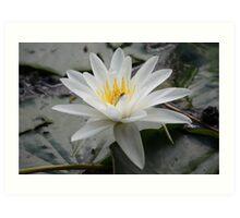 Beautiful White Water Lily Pad Art Print