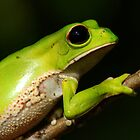 Monkey Tree Frog (Phyllomedusa boliviana) - Bolivia by Jason Weigner