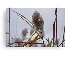 Tall Grass in Autumn Canvas Print