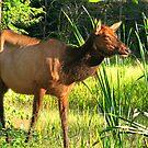 Benezett Elk In Porcupine Marsh by Geno Rugh