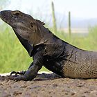 Sonoran Spiny-tailed Iguana ~ Profile by Kimberly P-Chadwick