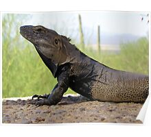 Sonoran Spiny-tailed Iguana ~ Profile Poster