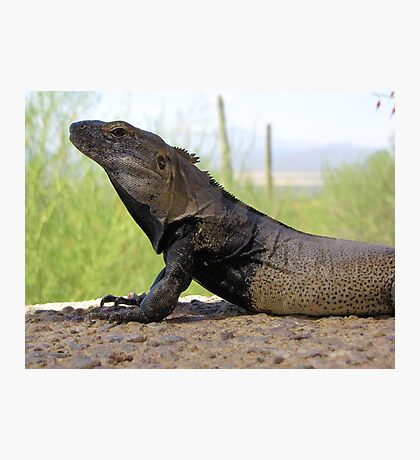 Sonoran Spiny-tailed Iguana ~ Profile Photographic Print