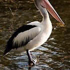 Pelican - Balyang Sanctuary Geelong  by forgantly