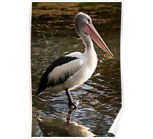 Pelican - Balyang Sanctuary Geelong  Poster