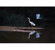 Egrets Ballet Photographic Print