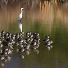 White Snowy Egret and Long Billed Dowitchers by Tam Ryan