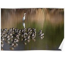 White Snowy Egret and Long Billed Dowitchers Poster