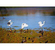 Egrets Landing Photographic Print