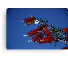moon light bottle brush Canvas Print