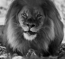 Hungry Lion  by Ashleigh Wilson