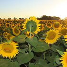 Sunflowers downunder by Paul  Francis