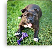 Molly the Staffordshire Bull Terrier Metal Print