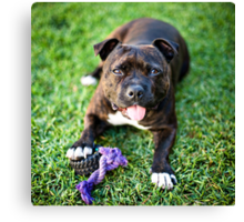 Molly the Staffordshire Bull Terrier Canvas Print