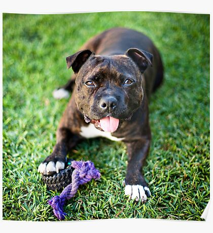 Molly the Staffordshire Bull Terrier Poster