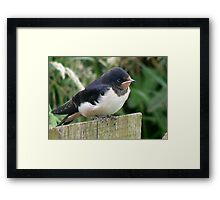 A Beautiful Swallow Framed Print