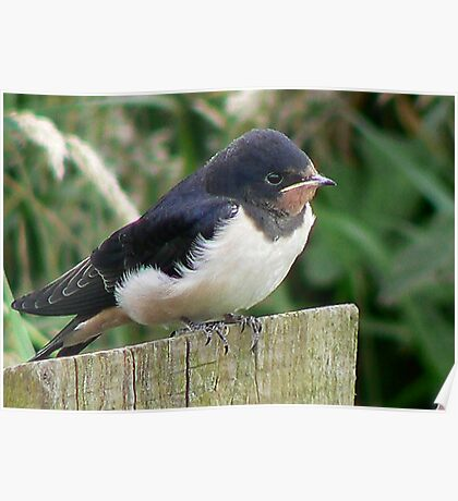 A Beautiful Swallow Poster