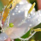 Honeysuckle Stamens by Terra 'Sunshine' Gilbert