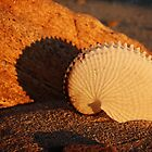 Paper Nautilus shell, Burner's Beach S.A. by Steph Ball