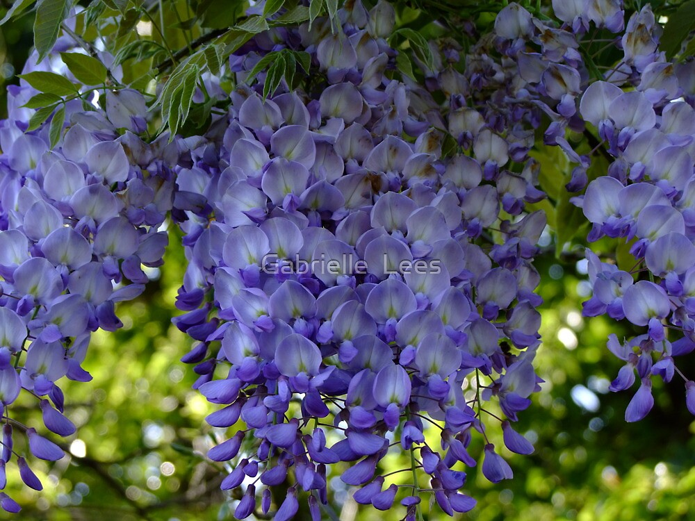 Whispy Wisteria! by Gabrielle  Lees