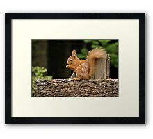 Red Squirrel Framed Print