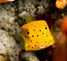 boxfish by Iscariot
