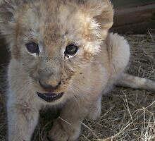 Close-up of a Lion Cub by benetta-strydom